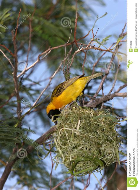 yellow bird building  nest stock photography image