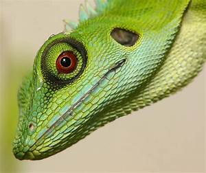 MC10 Eyes 2nd place Green Crested Lizard Red Eye by ...