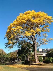 3d Light Shade Tabebuia Donnell Smithii Tree In Flower Gold Tree Or