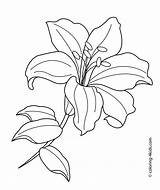 Coloring Pages Lily Flower Printable Print sketch template