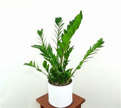 Plant Zz Extra Zamioculcas Zamiifolia Plants Indoor