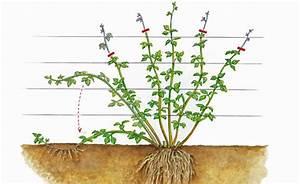 Schnell Rankende Pflanzen : brombeeren vermehren mein sch ner garten ~ Frokenaadalensverden.com Haus und Dekorationen