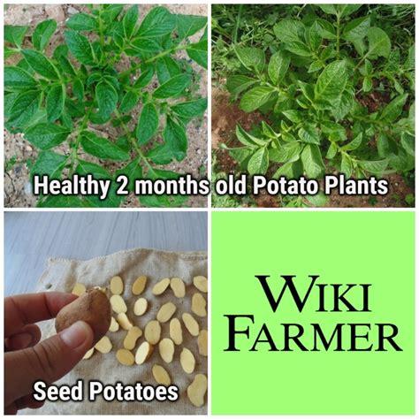 what happens when you plant a potato potato plant information wikifarmer