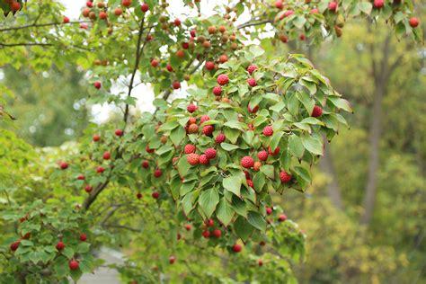 are ornamental plums edible kousa dogwood the fruit nut