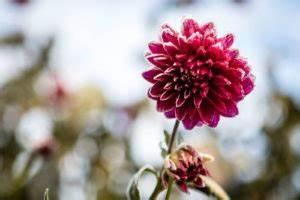 Dahlien überwintern Topf : kirschlorbeer sorten wuchsfreudige winterharte sorten f r hecken plantura ~ Orissabook.com Haus und Dekorationen