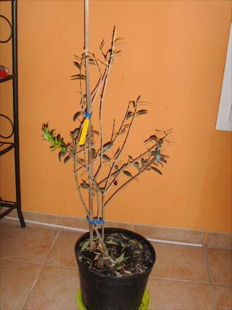 olivier perd ses feuilles swyze