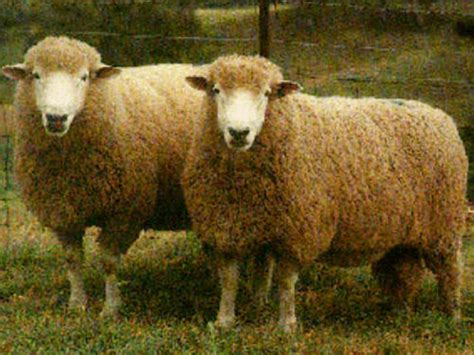 Growmark ovce Slike
