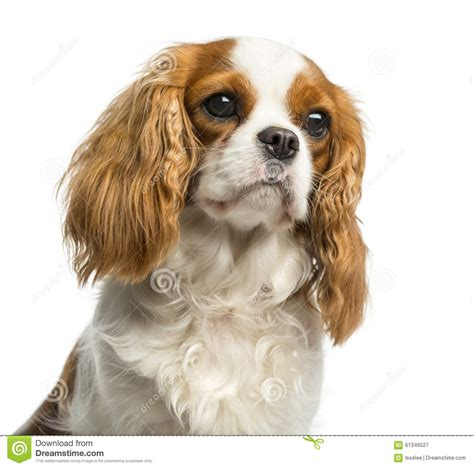 Closeup Of A Cavalier King Charles Spaniel Stock Photo