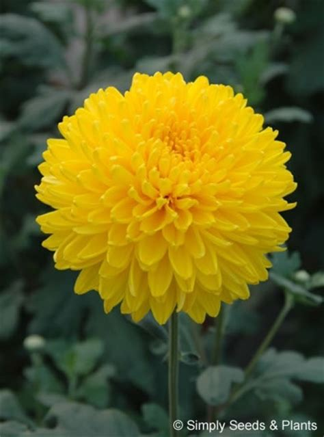 will mums bloom chrysanthemum migoli bright yellow incurving bloom chrysanth with very neat medium sized