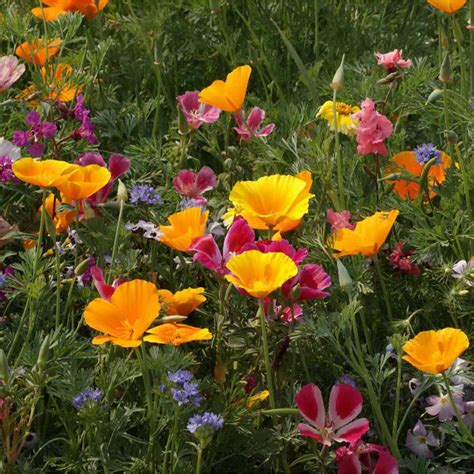 wild flower seed mix annual meadow plants attracts