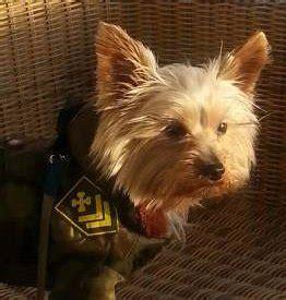yorkie shedding yorkshire terrier information center