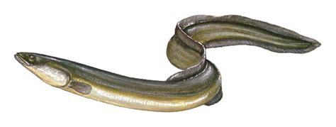 cuisiner une anguille une anguille