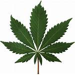 Leaf Cannabis Pot Transparent Hemp Indica Weed