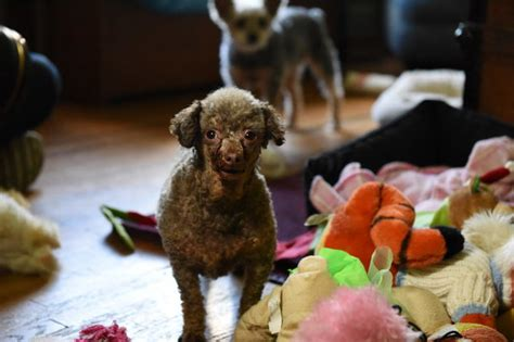 This Poodle Spent Her Entire Life In A Basement