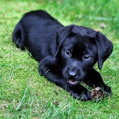 Lab Labrador Puppies Puppy Dog Dogs Cone