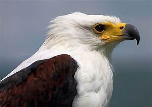 African Fish-Eagle. | pgcps mess - Reform Sasscer without ...