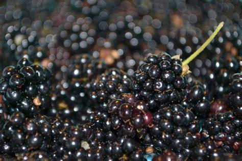 fresh blackberries free fresh blackberries 1 stock photo freeimages com