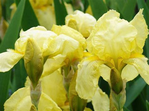 fiore iris foto significato iris significato dei fiori conoscere il