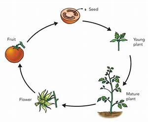 Life Cycle Of Plants -  Information   Fun Facts