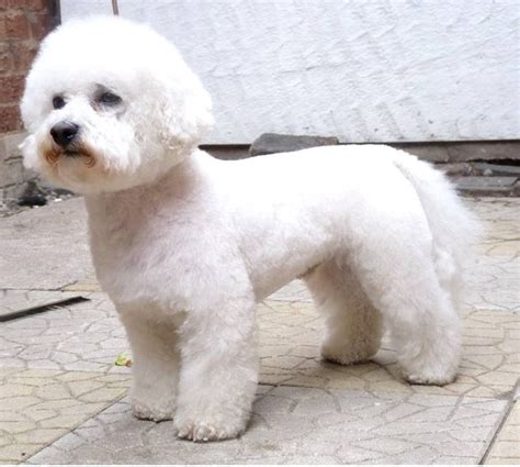 17 best images about grooming on poodles