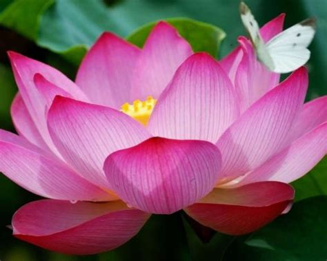 pink lotus flowers   butterfly hd wallpaper