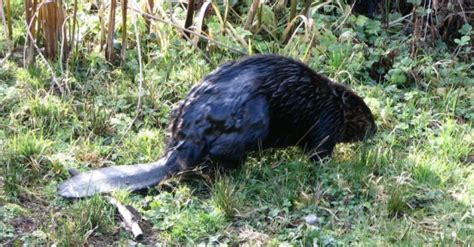 battle burnaby beavers  wire animal rights group