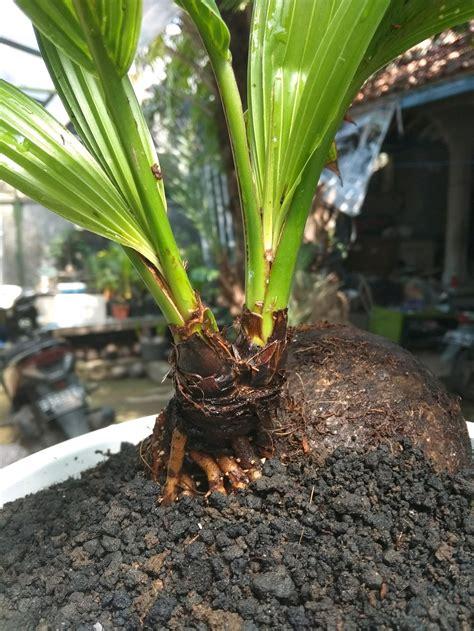 jual langka bonsai kelapa bercabang lapak mozzle