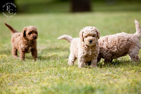 curly labradoodle puppies trails  labradoodles