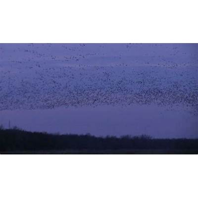 Churning and swirling of snow Geese at dusk Mucklands