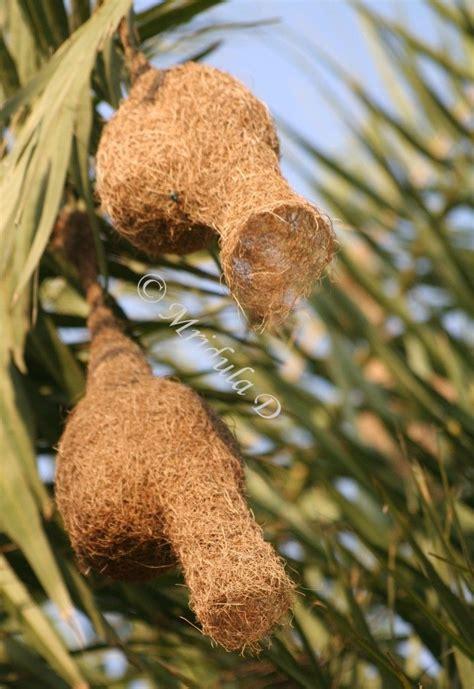 birds that weave nests weaver birds nests inspiration nests pods seeds pinterest