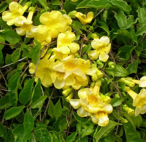 yellow flower vines pictures yellow trumpet vine monrovia yellow trumpet vine gardening pinterest trumpets