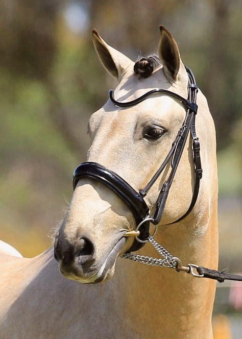 buckskin andalusian stallion stud lusitano dressage horses working spanish horsezone horse equitation eq stallions