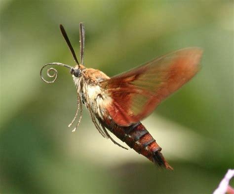 hummingbird moth hummingbird moth butterflies and moths pinterest