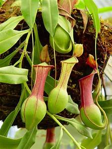 Nepenthes - pitcher plant - I am really going to try to ...