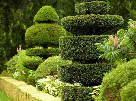 how to shape shrubs how to prune topiary saga