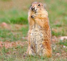 whistle pigs prairie dogs images   dogs