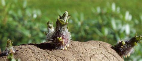 Aardappelplant giftig