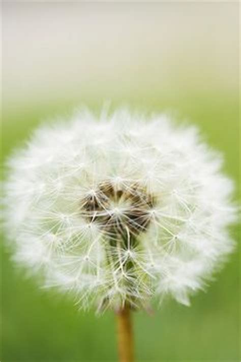 Flower You Blow Dandelion I Ve Made So Many Wishes Blowing The Seeds On