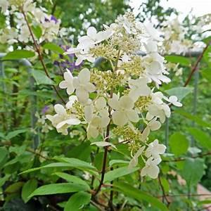 Hortensien überwintern Im Garten : hortensien erfolgreich berwintern mein sch ner garten ~ Frokenaadalensverden.com Haus und Dekorationen