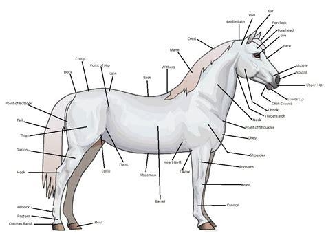 horse anatomy horse isle