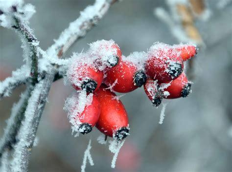 kostenlose bild hagebutte zweig winter frost kaelte