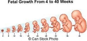 Schwangerschaft Wochen Monate Berechnen : entwicklung 8 wochen f tus 40 entwicklung f tus 40 stock illustrationen suche eps ~ Themetempest.com Abrechnung