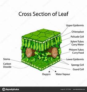 Education Chart Of Biology For Cross Section Of Leaf