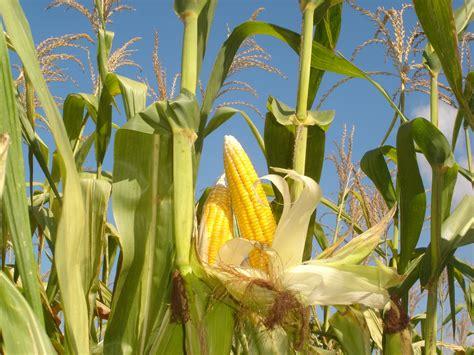 cuaca panas daun jagung menggulung  tujuan