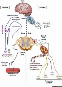 The Regulation of Immunological Processes by Peripheral ...