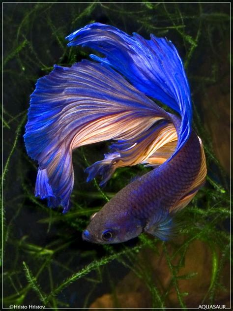 best images about you betta work it on 17 best ideas about beautiful fish on fish 17