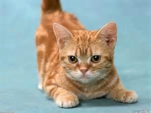 munchkin cat for munchkin cat wallpaper 11830 open walls