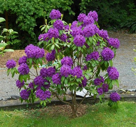 planting a rhododendron 1000 images about rhodies in my yard and those that should be there on pinterest plant