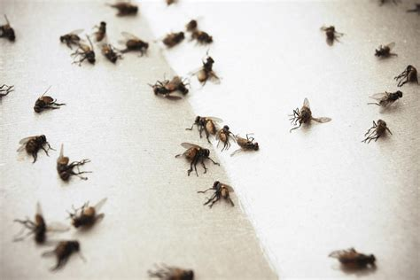 5 Steps For Indoor House Fly Control