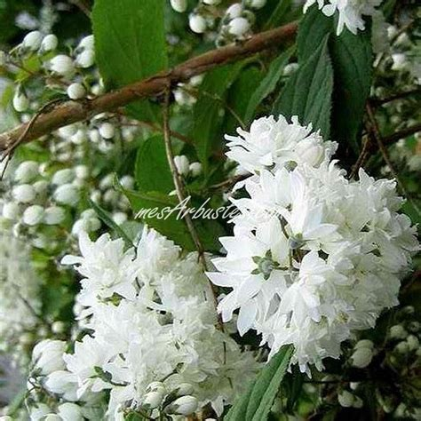 arbustes à fleurs vente arbustes fleurs arbustes fleuris